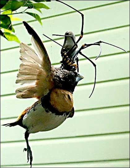 araña gigante devorando a un pájaro