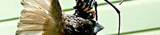 Logran fotografiar a una araña gigante devorando a un pájaro