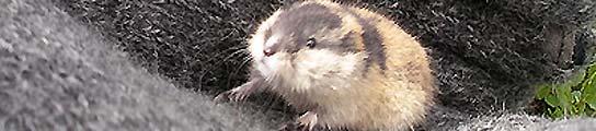 Lemming noruego