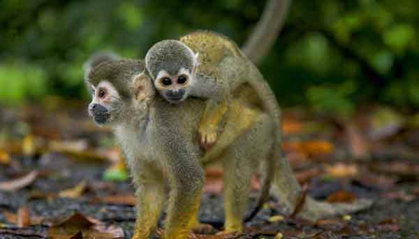 Los monos podrían ayudar en la erradicación del sida.