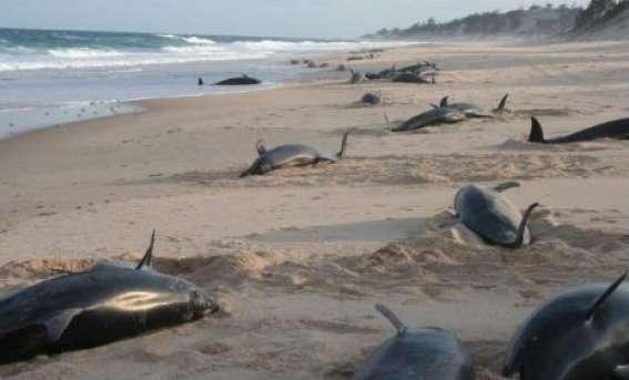 Delfines muertos