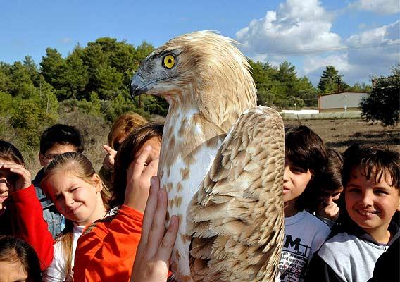 Rapaz recuperada    21/11/08. Un águila, antes de ser soltada tras recuperarse en el Hospital Helénico de la Vida Salvaje en la isla de Rodas en Grecia.