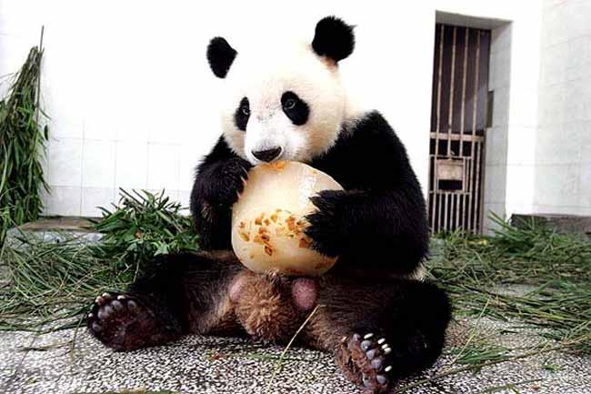 Panda con hielo (28/7/2008)