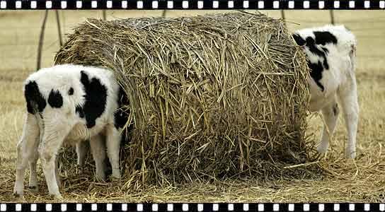 enemigos de la vaca-http://estaticos.20minutos.es/img/2008/12/23/910755.jpg
