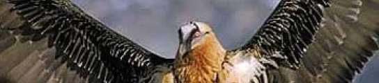 El quebrantahuesos es un ave en peligro de extinción.