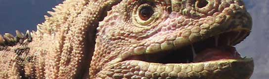 La iguana rosa de las Galápagos