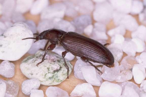 Uno de los escarabajos de la harina