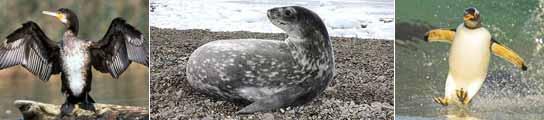 El cormorán, la foca y el pingüino eran las tres principales delicias gastronómicas en las bases científicas en los cincuenta.