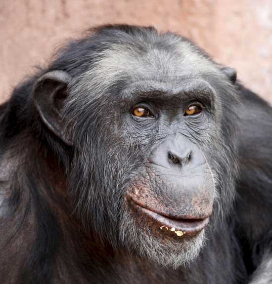 'Santino', un chimpancé que tira piedras con premeditación