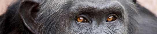 El chimpancé Santino