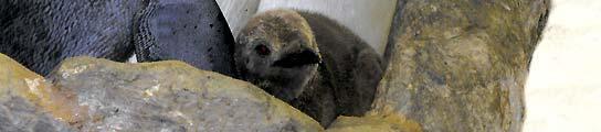 Nacen tres crías de pingüino rey en el zoo 'Loro Parque' de la isla de Tenerife  (Imagen: EFE)