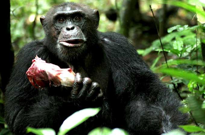 Chimpancés cambian carne por sexo