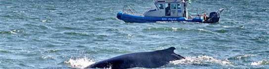 Una ballena se adentra en Nueva York  (Imagen: AP)