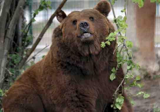 'Furaco', el oso cántabro, que intentará la reproducción de las osas