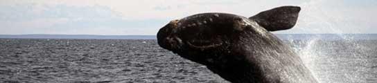 La llegada de las ballenas francas a Argentina podrá seguirse en Internet  (Imagen: Chubut.gov.ar)
