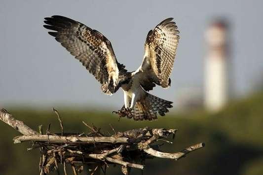 Recuperan al águila pescadora, extinta en España-http://estaticos.20minutos.es/img/2009/06/05/967708.jpg?v=20090605133848