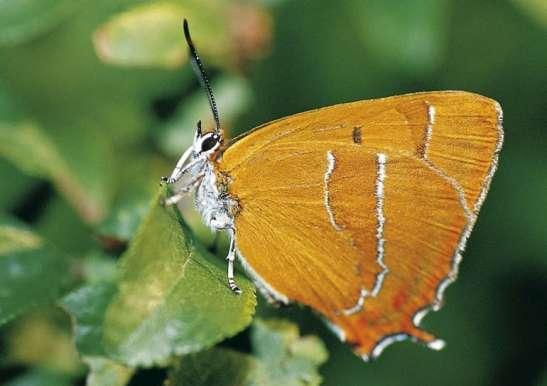 Mariposa 'Techla betulae'