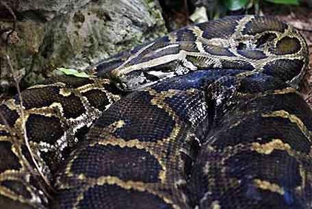 Serpiente pitón birmana.