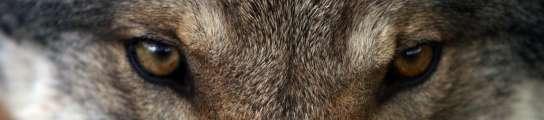Perros Lobos 544