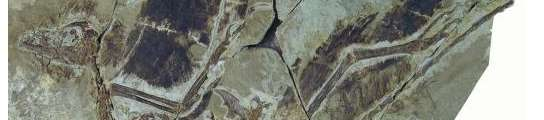 Fósil del 'Anchiomis huxleyi'.
