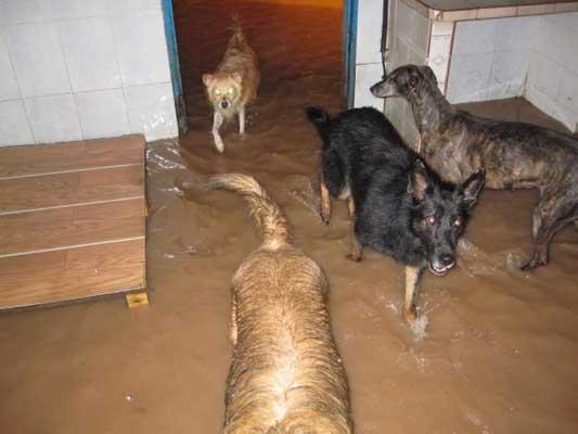 Perros en peligro por el diluvio.