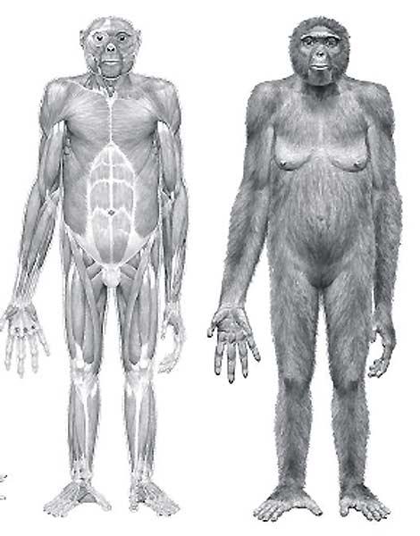 'Ardi', el ancestro más antiguo del hombre y del chimpancé