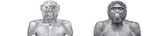 'Ardi' sustituye a 'Lucy' como antepasado más antiguo del hombre y del chimpancé  (Imagen: SCIENCE)
