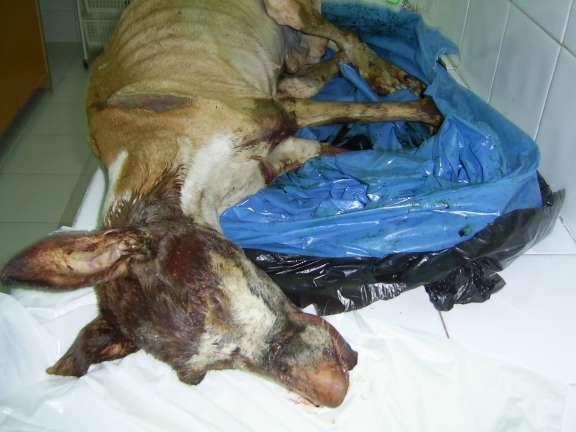 Perro muerto en Tenerife