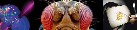 Científicos implantan malos recuerdos en las neuronas de las moscas gracias a un láser  (Imagen: ARCHIVO)