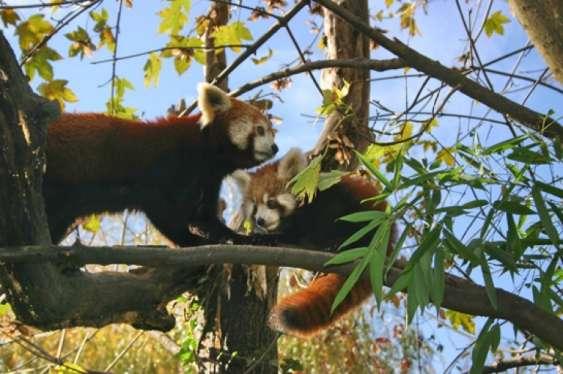 Pandas rojos