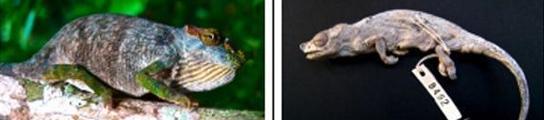 Nueva especie de camaleón