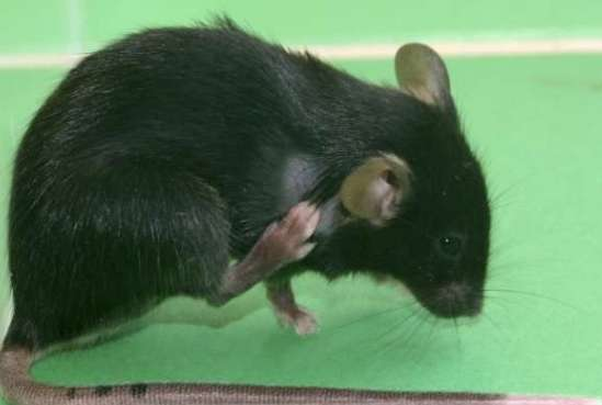 Ratón, rascándose