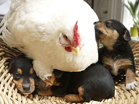 Una gallina 'adopta' a unos perritos 1052425