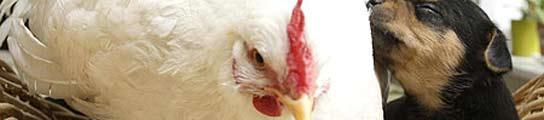 Una gallina 'adopta' a unos perritos  (Imagen: MIRROR)