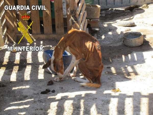 La  Guardia Civil detiene a un hombre en Gran Canaria por el abandono y  desnutrición de 8 perros podencos canarios