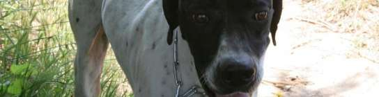 Un perro que se perdió en 2009 en Andalucía aparece en Sant Boi   (Imagen: SPAM)