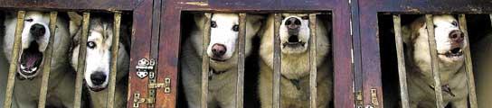 Rescatan a 129 perros que vivían como gallinas, enjaulados en un criadero  (Imagen: ARCHIVO)