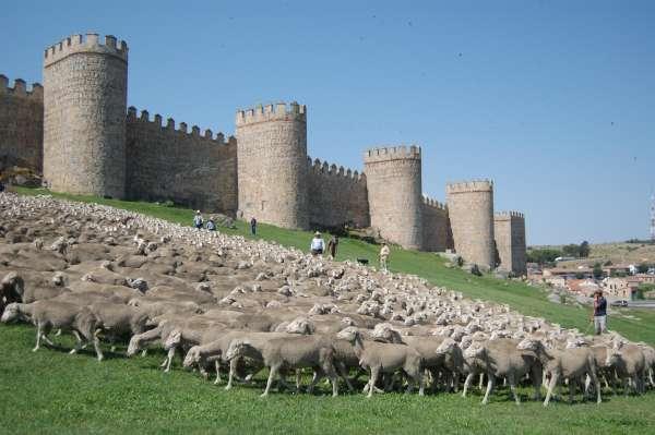 Llegan este domingo a Segovia las 2.000 ovejas merinas trashumantes de la DOP Queso de la Serena procedentes de Badajoz