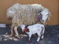 La exposición de ganadería gomera contará este año con una degustación alimentos de la isla