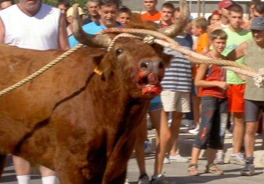 los correbous, las fiestas con toros típicas  1114341