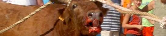 Catalunya prohíbe las corridas de toros, pero seguirá celebrando sus 'correbous'  (Imagen: ARCHIVO)