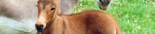 Nace un híbrido de cebra y burra  (Imagen: EFE)