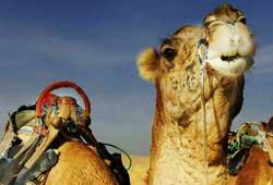 Un camello descansa en medio del desierto.