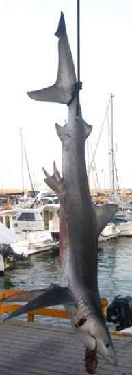 El tiburón fue limpiado y cortado para después ser congelado y repartido entre el pescador y sus amigos.