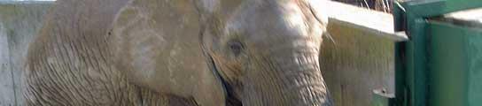 Una de las elefantas del parque natural