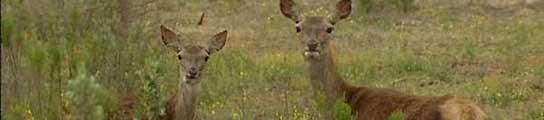 Más de un centenar de ciervos fallece por una bacteria en su aparato respiratorio  (Imagen: ARCHIVO)
