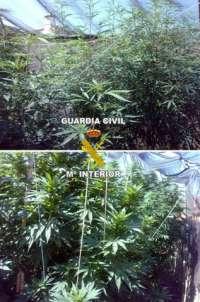 Detenidos cuatro miembros de una familia de Ribera del Fresno (Badajoz) que cultivaba 15 plantas de marihuana