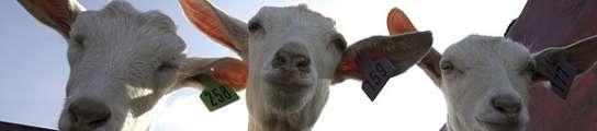 Un proyecto luso-español prevé usar 150.000 cabras para prevenir  incendios  (Imagen: ARCHIVO)