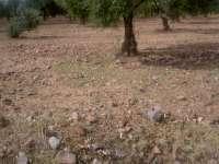 El 60 por ciento del olivar de Monterrubio de la Serena ha sido