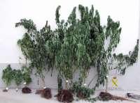 Desmanteladas seis plantaciones de marihuana en la provincia de Zamora que darían más de 80.000 dosis